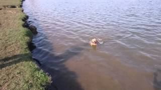Staffordshire Bull Terrier Swimming With Timeshift