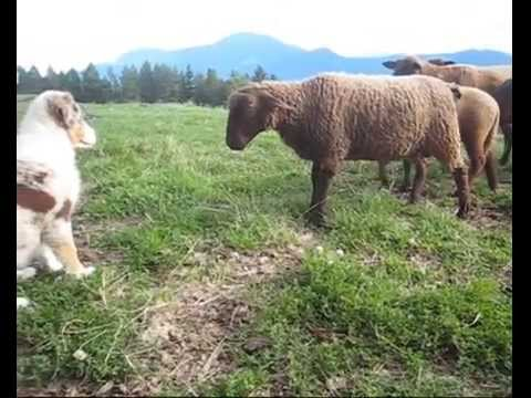 Australian shepherd first time with sheep at age 12 weeks