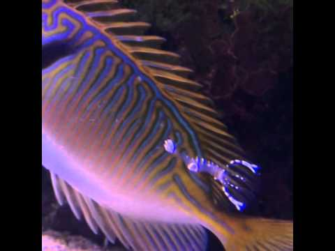 Clapping Shrimp Giving Blue Lined Rabbitfish A Brief Cleaning Service