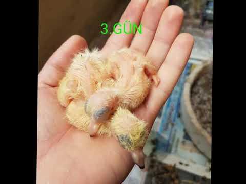Yavru Güvercin Gelişimi ( sabuni arkatepe,  mavi..)