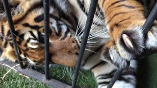 How long do tigers hold Your arm in their mouth ? before getting it back !
