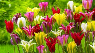 How to plant Viridiflora Tulips: Jeff Turner plants Viridiflora Tulips in a Tulip Bed