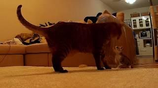 先住猫のぶーにゃんが我が家にやってきたころの動画があったのでアップ...