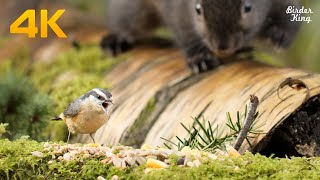 Cat TV 4K UHD - Beautiful Birds and Squirrels in Canadian Forest