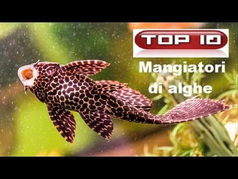 Top 10 pesci alghivori per acquario dolce youtube for Acquario per pesci