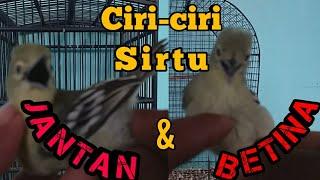 Perbedaan Burung sirpu/sirtu Jantan & Betina