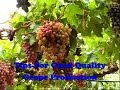 Tips For Good Quality Grape Production
