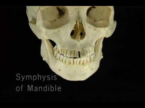 верхняя и нижняя челюсти 1
