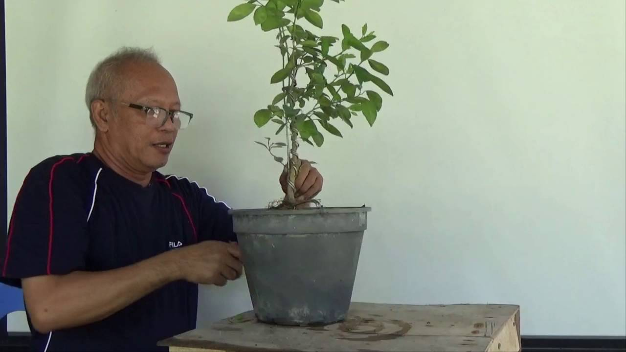 how to grow bonsai from seedling