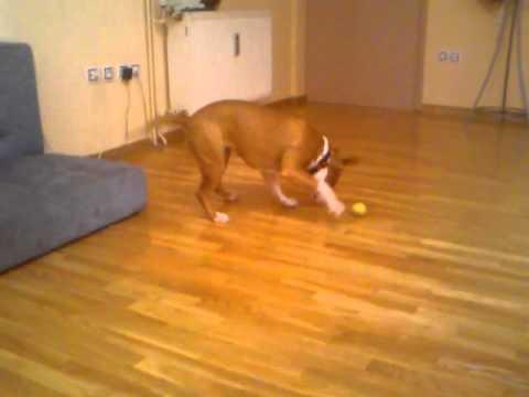 iris amstaff dog vs lemon