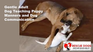Gentle Adult Dog Teaching Puppy Manners