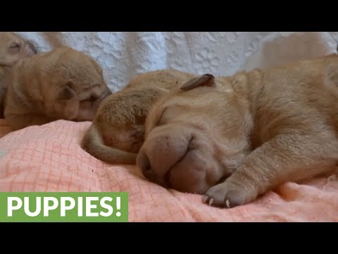 Adorable new litter of Shar Pei puppies