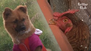 The Last Of  A Dog Who Plucked Out The Feather Of A Pastor's Chicken Is.. | Kritter Klub