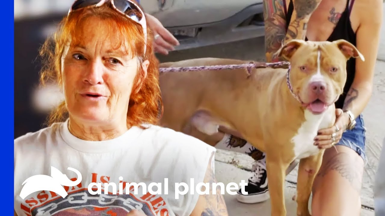 Pit Bull Hit By Car Reunited With His Owners Pit Bulls Parolees Youtube