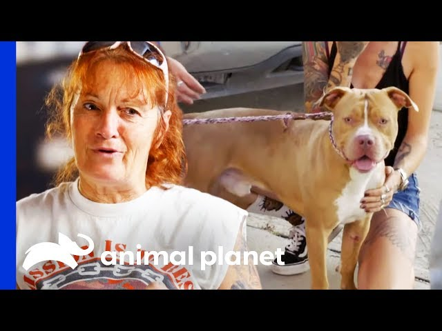Pit Bull Hit By Car Reunited With His Owners | Pit Bulls & Parolees
