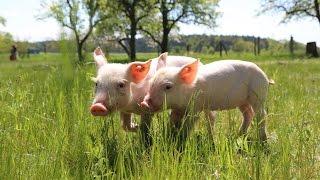 Von der Hölle ins Schweineparadies - Lilly und Sally sind gerettet!