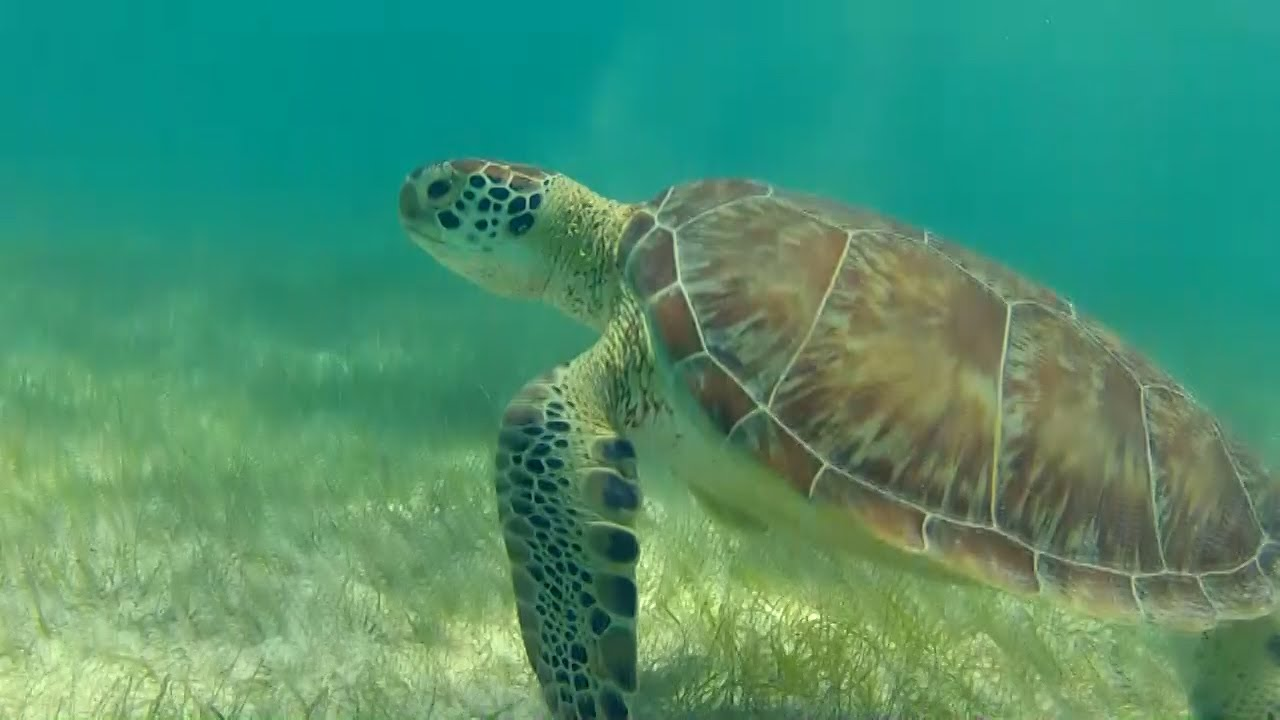 Rescate De Tortuga Marina En Cancun: MAYA, La Tortuga