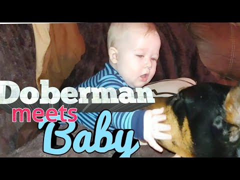 Doberman Pinscher with Babies - Big Dogs and Children
