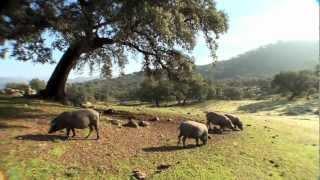 El cerdo ibérico en la dehesa. Jamón de Jabugo, el mejor jamón del mundo.