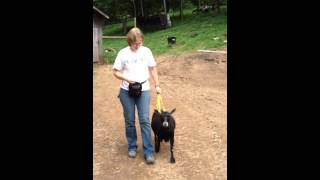 Goat Clicker Training