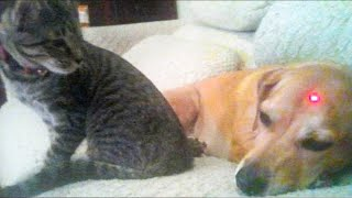 Dog and Cat Reaction to Laser Pointers  Funny Animal Reaction Videos