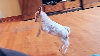 Baby Miniature Goat Chasing Me