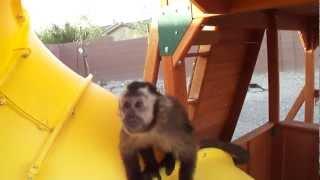 baby monkey nala slides down the slide