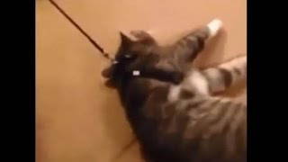 Кот притворился мертвым, чтобы не идти гулять. Cat plays dead to avoid going for a walk