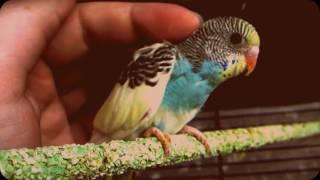 Пёстрый окрас волнистого попугая - только из гнезда