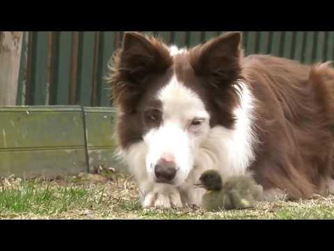 Unlikely pair: Border collie befriends abandoned duckling