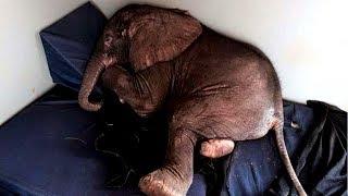 Verstoßener Baby Elefant ertrinkt in Einsamkeit, bis er einen ungewöhnlichen Freund trifft!
