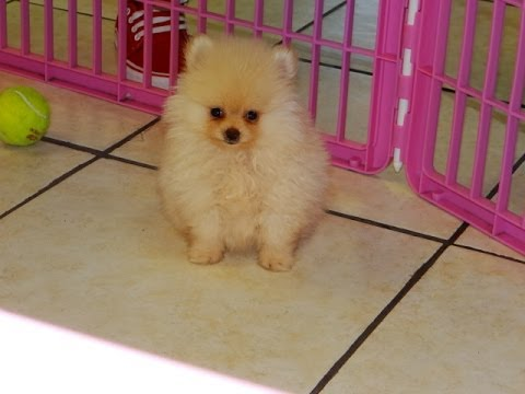 craigslist pomeranian pomeranian puppies dogs for sale in virginia beach 4667