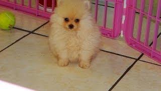 Pomeranian, Puppies For Sale, In, Hampton, Virginia, West, Va, Norfolk, Chesapeake, 19breeders
