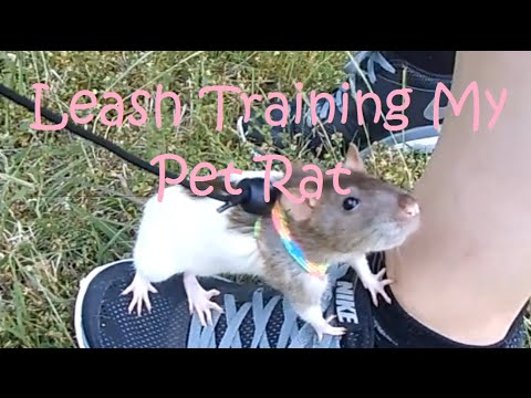 Rat Leash Training - Nonnie's First Day Out (pet Rat Videos)