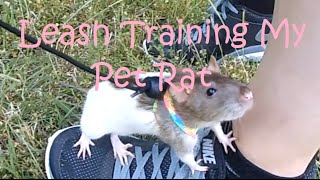 Rat Leash Training - Nonnie