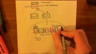 Vancomycin Resistant Enterococcus Faecalis Part 2