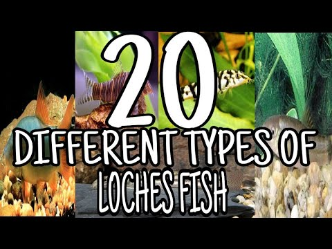 Types Of Loach Fish