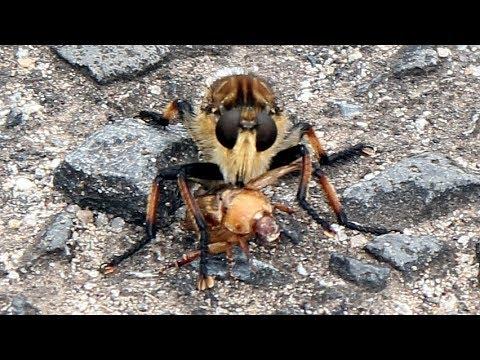 天敵 オオスズメバチ オオスズメバチの生態や注意するポイント