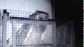 Barn owlet eating