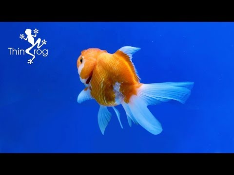 Buying Oranda Goldfish