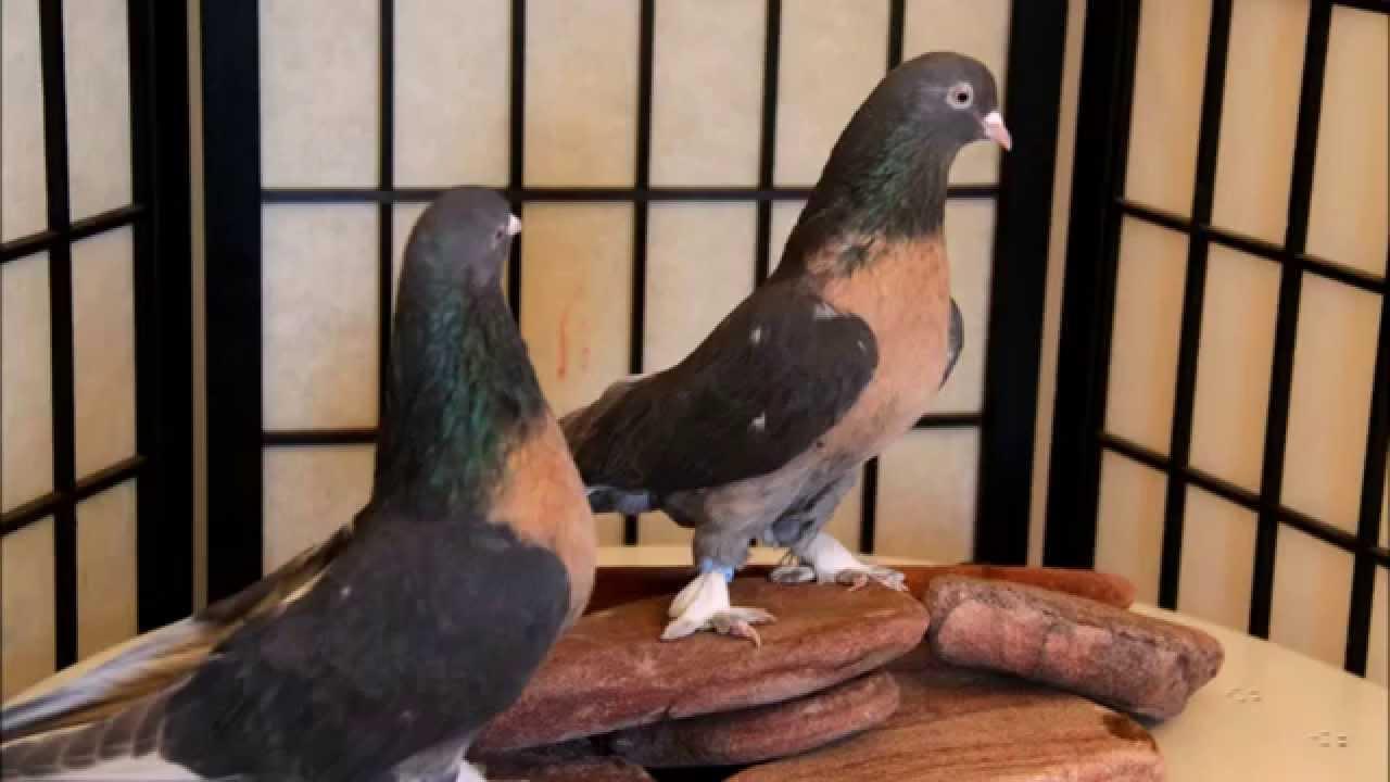 турки голуби фото