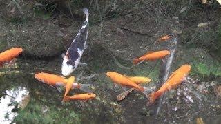 """庭の金魚 """" 自然飼育 """" の 風景 ~ Goldfish pond"""