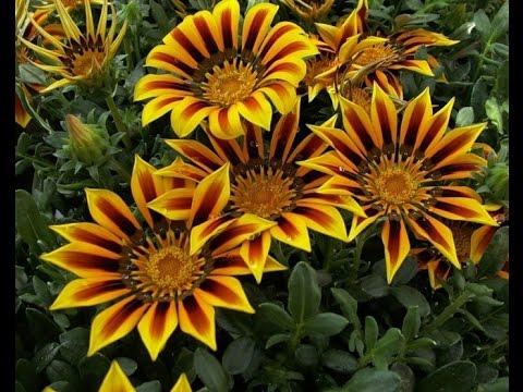 многолетние цветы для сибири названия и фото