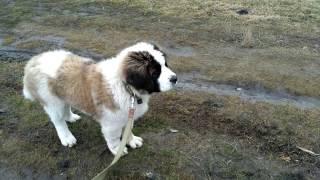 Щенок гоняет курей. Московская сторожевая собака.