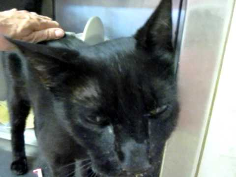 Meet MOEJOE, black slinky oriental shorthair teen boy cat: loving, friendly, cuddly, purry!