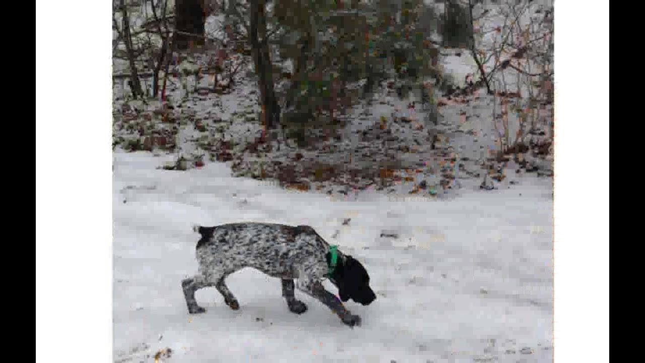 German Shorthaired Pointer Puppies Nc Youtube