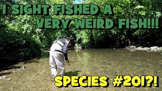 i caught an unexpected fish species 201? hunting for the waterfall fish again part 4