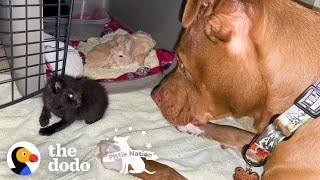 Runt Pittie Puppy Grows Up To Be Obsessed With Kittens | The Dodo Pittie Nation