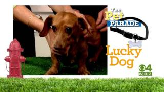 WBZ Promo:  Lucky Dog & Pet Parade (:30)