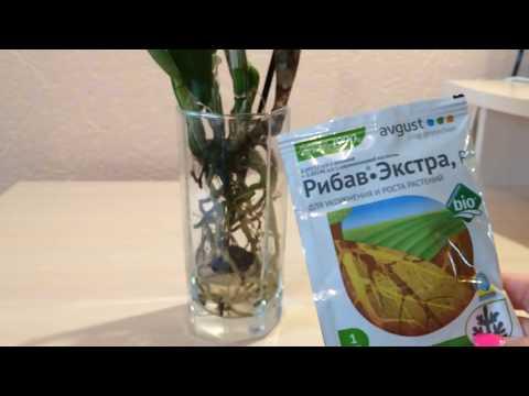 Орхидея – содержание и уход